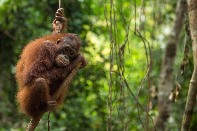 Orangutan Rescue Center Indonesia