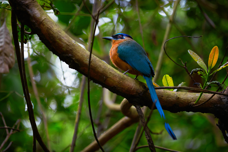 Bird in the Tapajós National Forest in the Amazon, Brazil