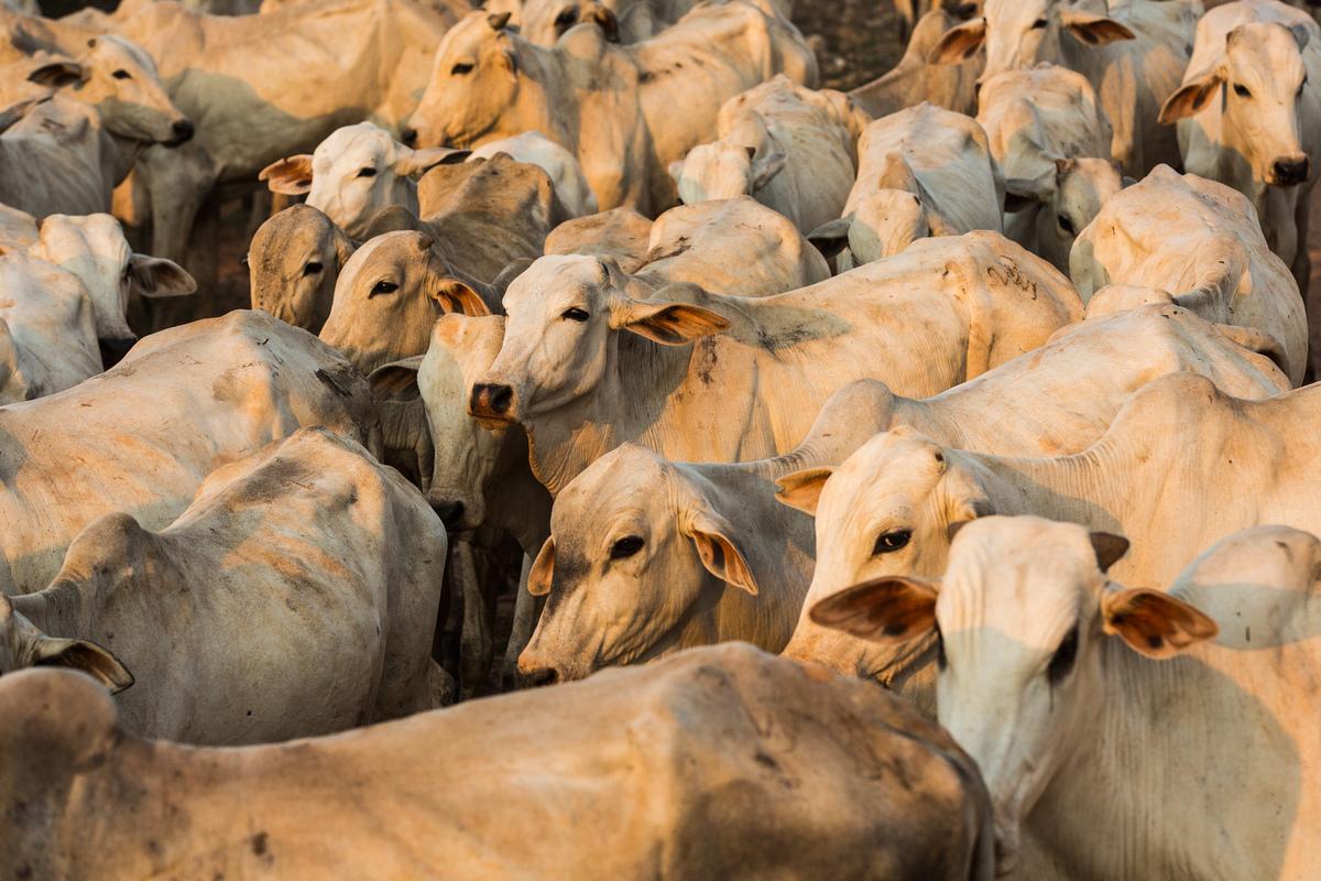 Cattle in the Amazon. © Bruno Kelly / Greenpeace