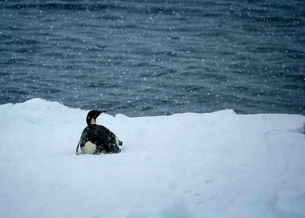 Emperor Penguin in the Southern Ocean. © Greenpeace / Jiri Rezac