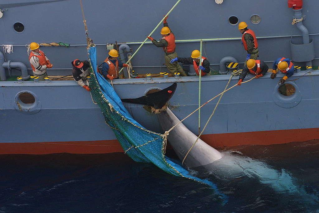 Japanese Catcher Ship Yushin Maru Recovering a Minke Whale. © Greenpeace / Jeremy Sutton-Hibbert