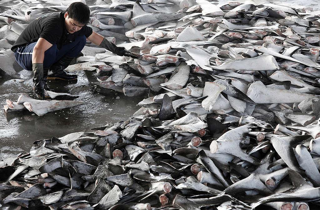 Shark Fins at Fish Market in Taiwan. © Alex Hofford / Greenpeace