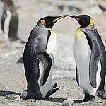 King Penguins in Antarctica. © Christian Åslund / Greenpeace