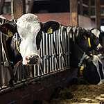 Landbruget gør krumspring for at undgå kødreduktion og leverer pinagtigt lidt til klimamål