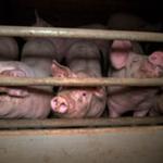 Regeringen totalfreder storproduktionen af kød og svigter sit klimaansvar med gigantisk knæfald for landbrugslobbyen