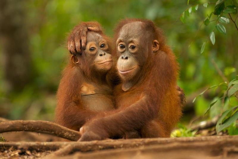 Orangutangen er truet er palmeolieindustrien.