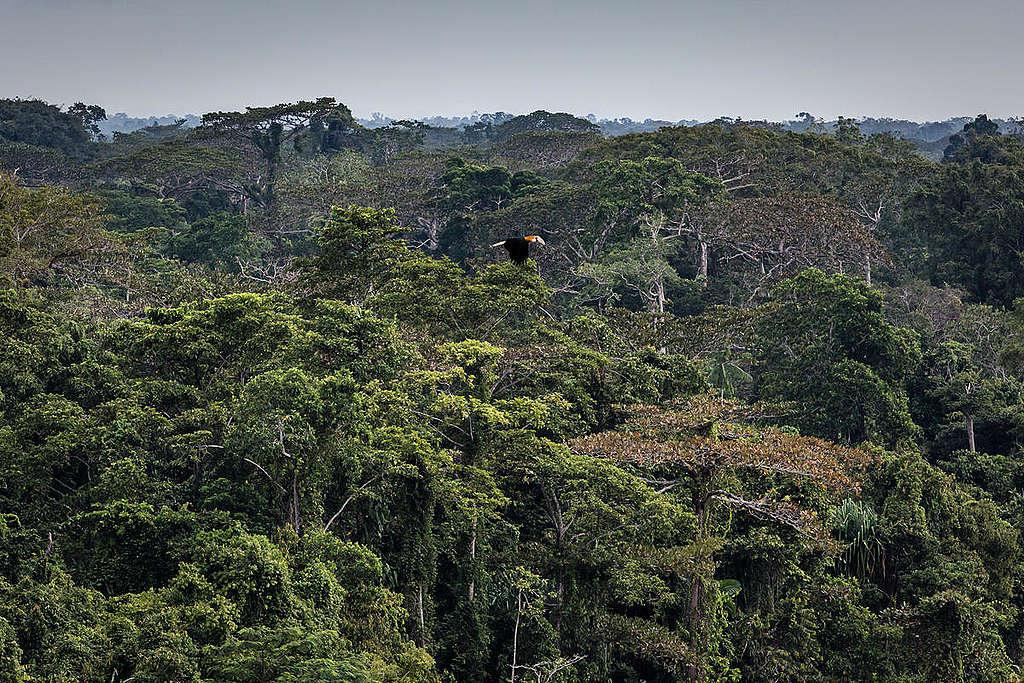 Næsehornsfugl flyver henover regnskoven i Papua, Indonesien. Sydøstasiens regnskovsområder er under voldsomt pres fra især palmeolieindustrien.