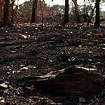Danish Crowns tålmodighed med leverandører der brænder skov i Brasilien burde være slut for længst