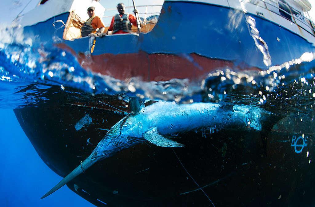 Swordfish Caught by Spanish Longliner in Indian Ocean. © Paul Hilton / Greenpeace