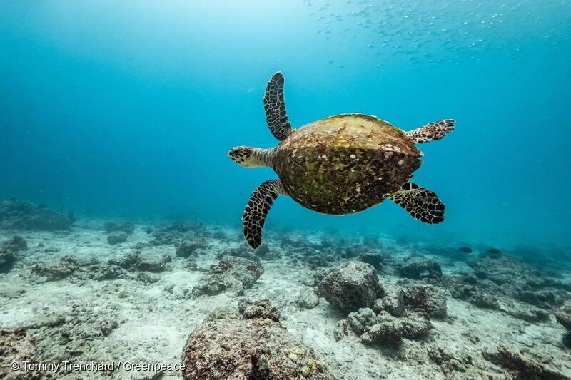 En karettehavskildpadde uden for Mahes kyst, Seychellerne