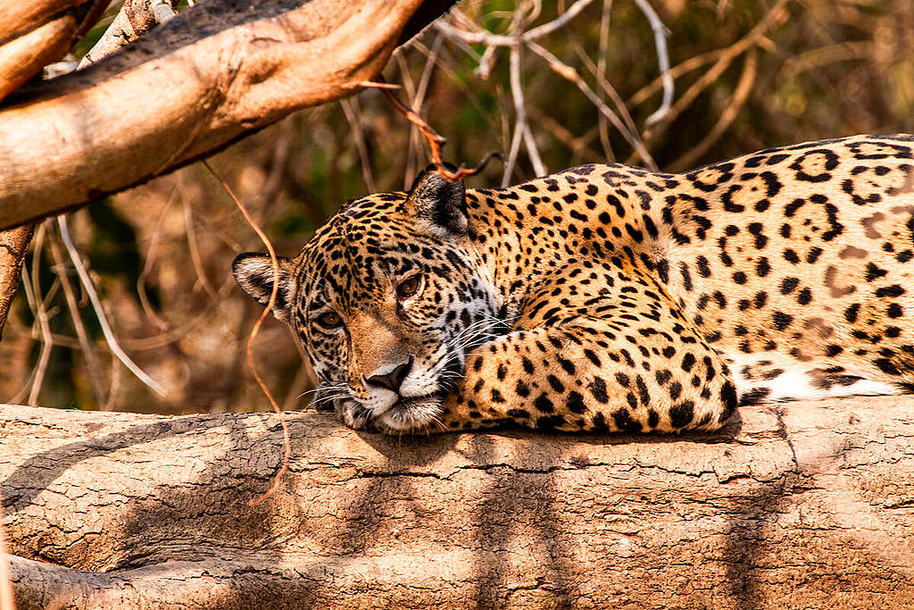 Jaguar (Panthera onca) in Pantanal, Brazil. © Leandro Cagiano / Greenpeace