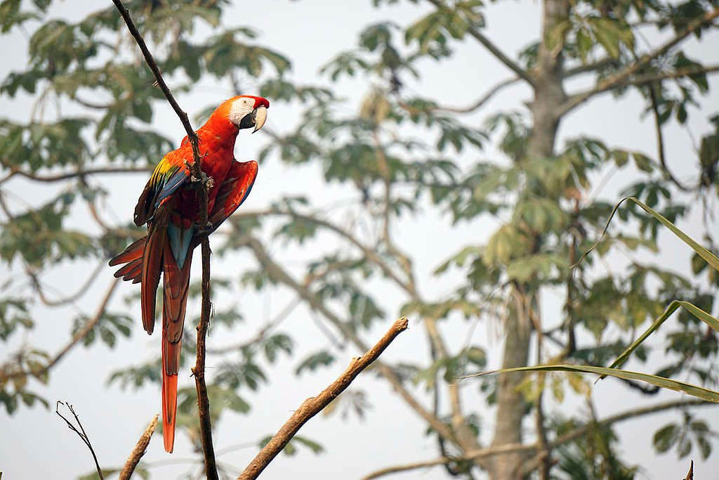Scarlet Macaw in the Karipuna Indigenous Land, Brazil. © Rogério Assis / Greenpeace