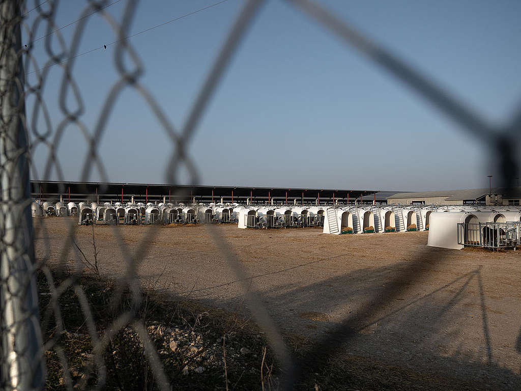 Rows of Calves in Dairy Factory Farm in Caparroso, Spain. © Greenpeace / Wildlight / Selene Magnolia