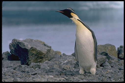 Keisaripingviini vuodelta 1989