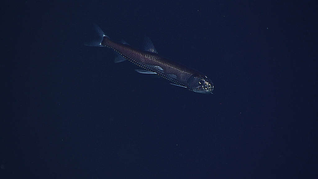 Valokalat ovat meren biologisen hiilipumpun keskeinen osa. Credit: NOAA/OAR/OER, 2016 Deepwater Wonders of Wake