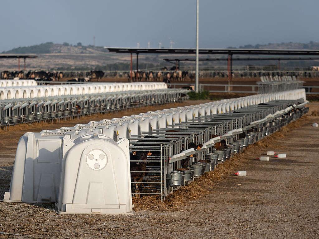 Rows of Calves in Dairy Factory Farm in Caparroso, Spain. © Greenpeace / Wildlight / Selene Magnolia