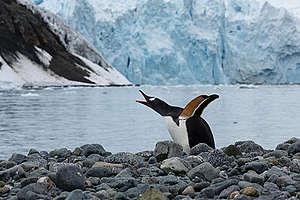 Valkokulmapingviini Antarktiksella 2020