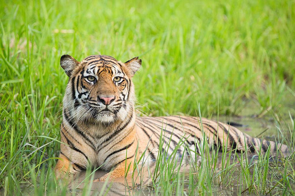 Sumatran Tiger in Tambling Wildlife Nature Conservation. © Paul Hilton / Greenpeace
