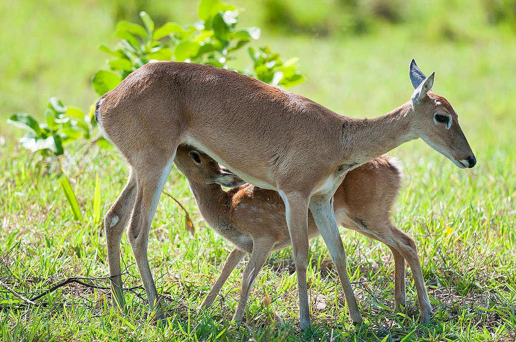 Pampakauris kuvattuna Pantanalin suistossa, Brasiliassa.