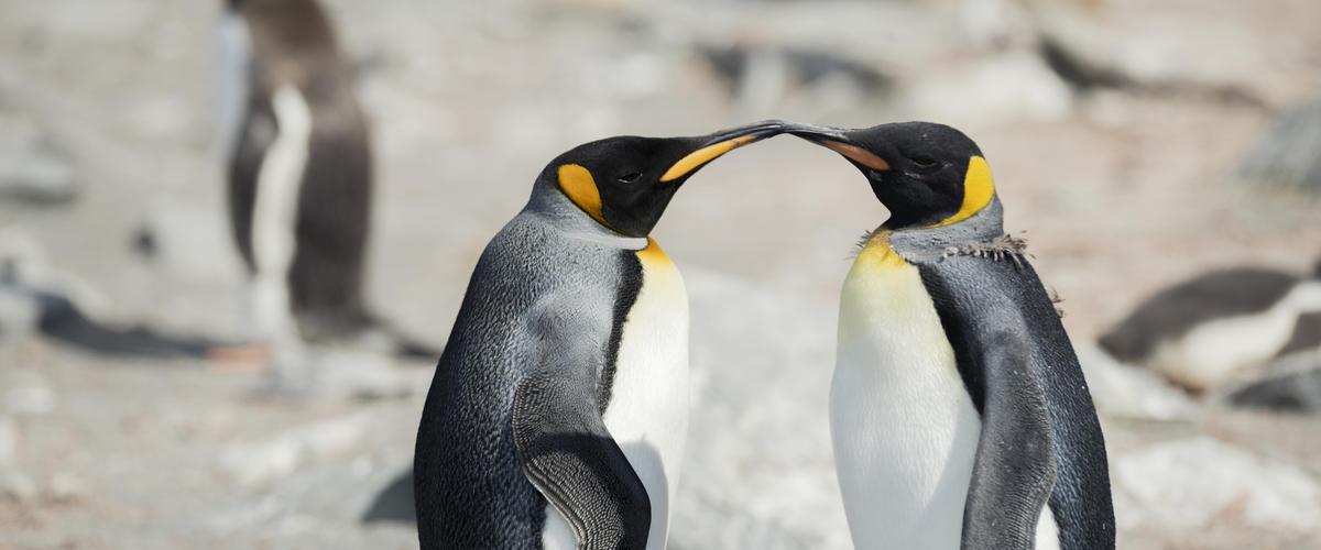 Kuningaspingviinit