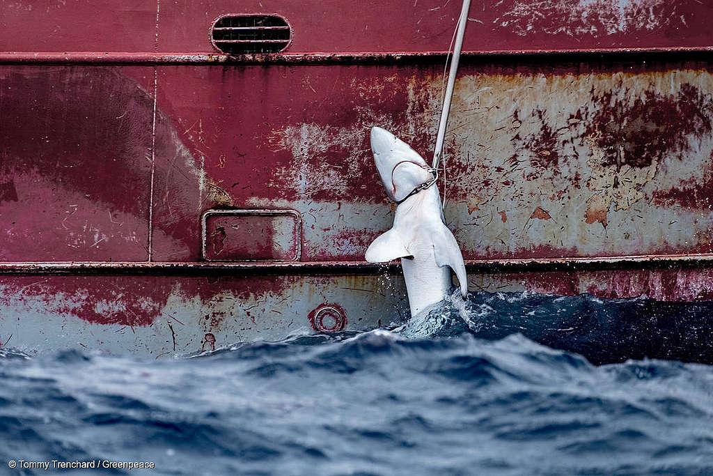 Haikala on jäänyt tehokalastuksen saaliiksi