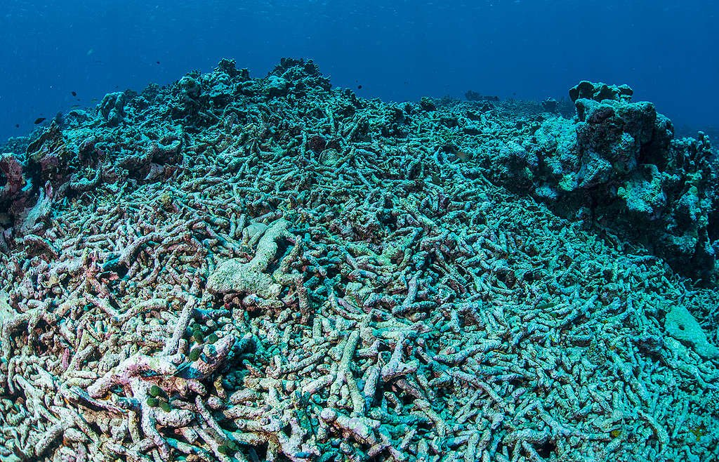 Coral Bleaching in the Maldives. © Uli Kunz / Greenpeace