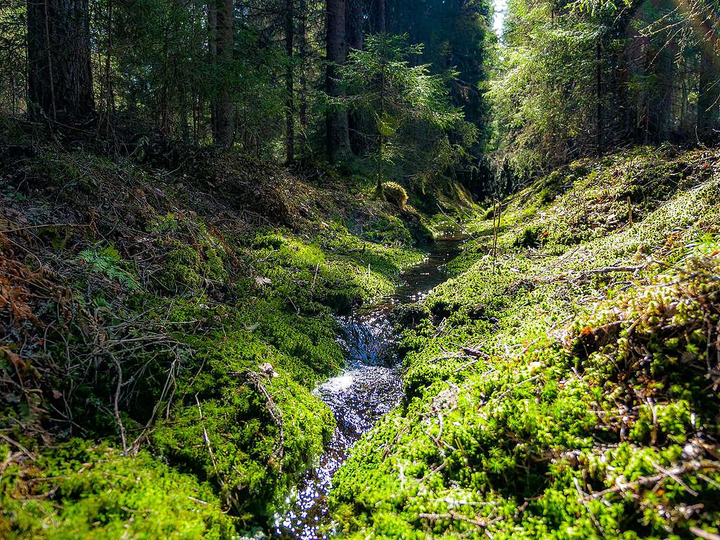 luonnonmetsä puro