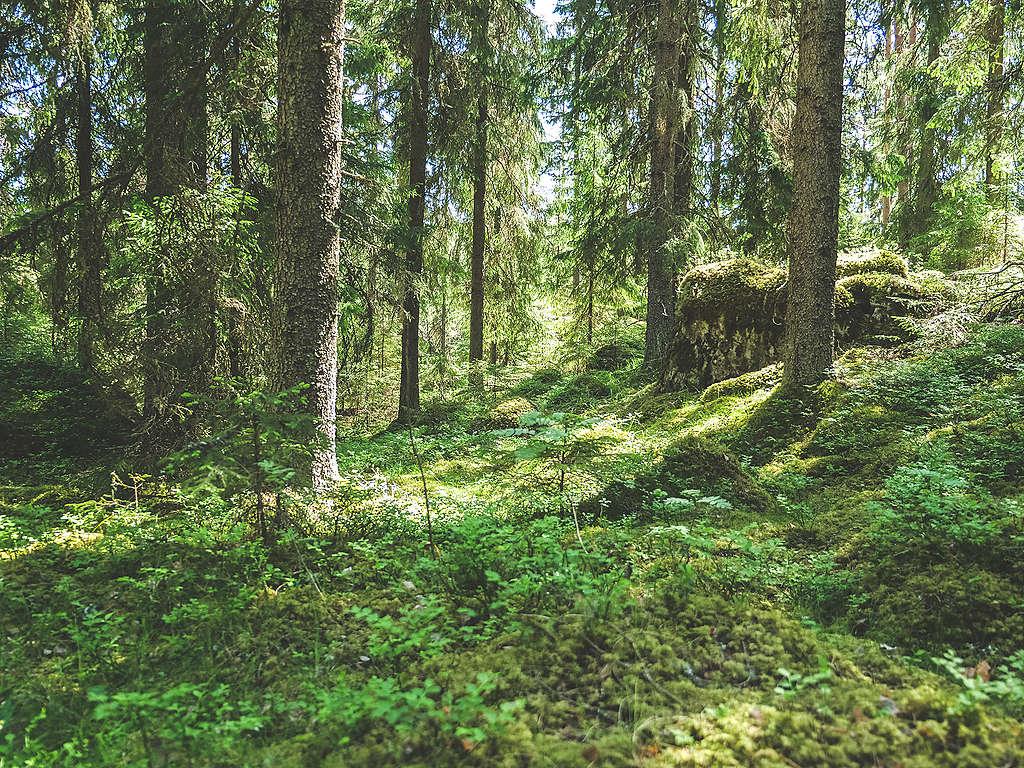 Metsää Evolla. Evon tiedekansallispuisto on tärkeä hanke Etelä-Suomen metsien suojelemisen kannalta.