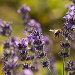 10 συμβουλές για να βοηθήσουμε τις μέλισσες