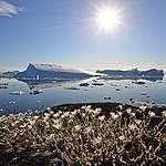 Summer flowers Greenland. © Bernd Roemmelt / Greenpeace