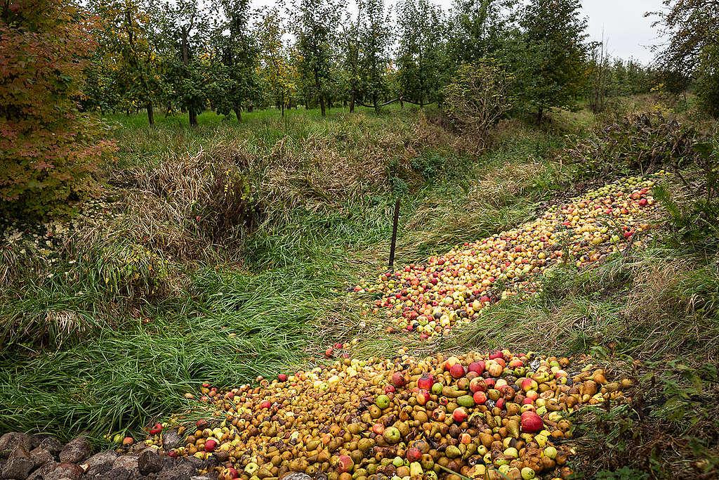 Apples with Fruit Disease in Organic Fruit Farm in Altes Land, Germany. © Daniel Müller / Greenpeace