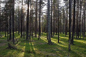 Pine Trees. © Matti Snellman / Greenpeace