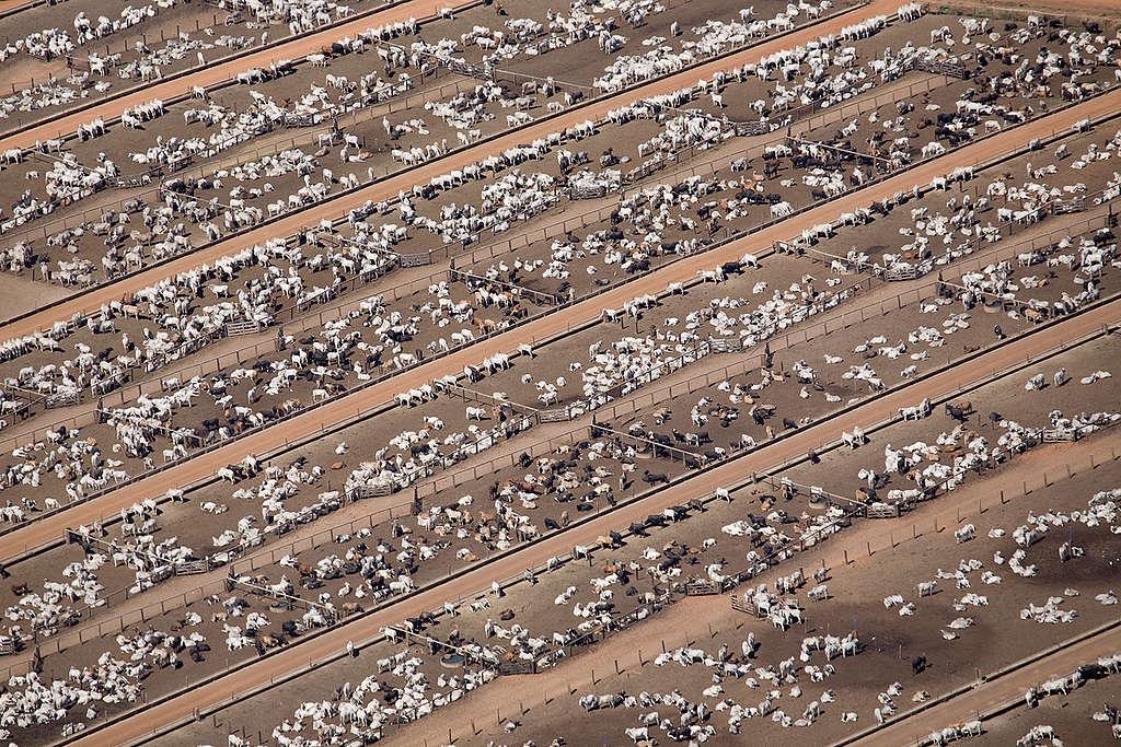 Cattle Farm in the Amazon. © Greenpeace / Daniel Beltrá