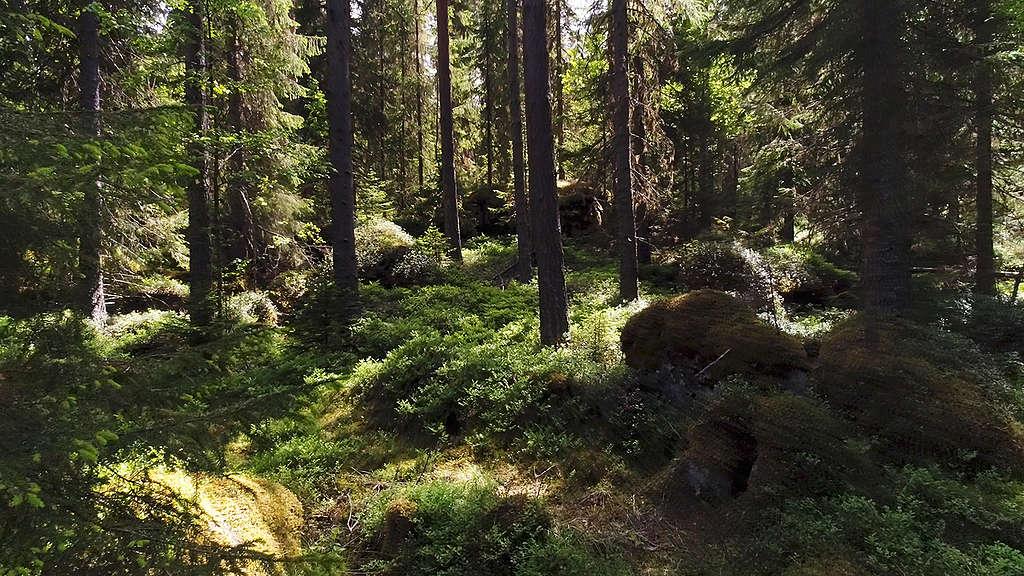 Forest at Grusryggarna in Sweden. © Jari Stahl / Greenpeace