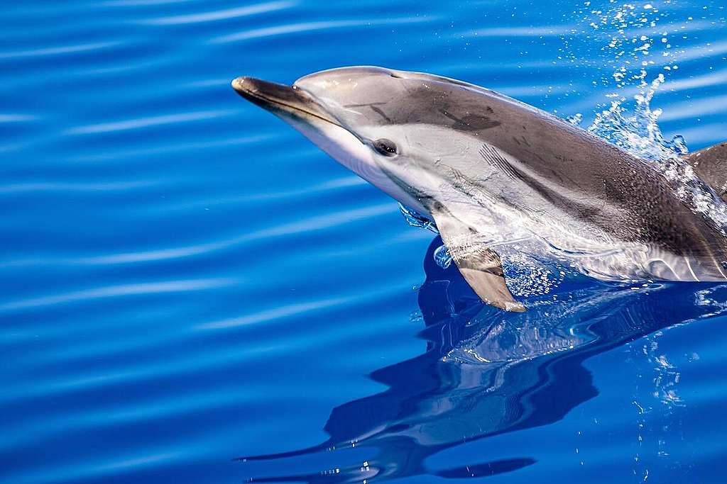 Dolphin in the Corsican Channel. © Lorenzo Moscia / Greenpeace