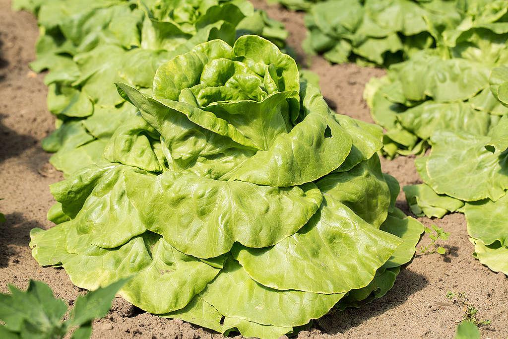Lettuce in Germany. © Axel Kirchhof / Greenpeace