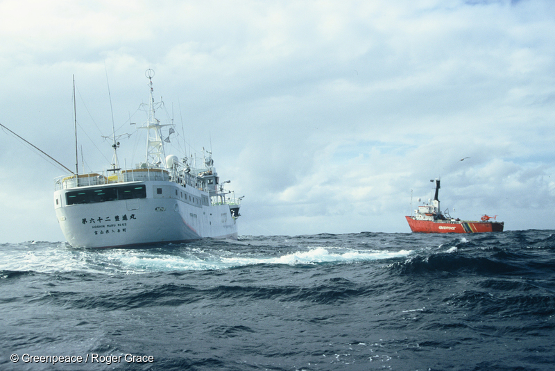 MV Arctic Sunrise documenting the death toll of albatrosses, sharks and Southern Bluefin Tuna caused by the joint-venture longliner Hoshin Maru in New Zealand waters (1997)