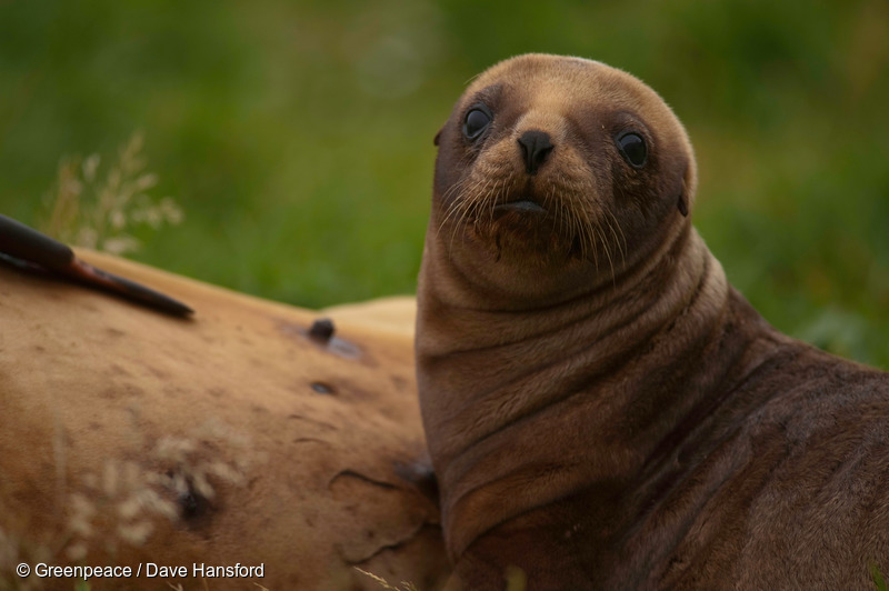 A New Zealand sea lion pup at Sandy Bay, Enderby Island, in the New Zealand subantarctic.
