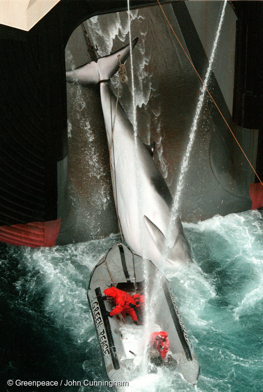 A Greenpeace inflatable crew attempting to stop a harpooned Minke Whale being hauled onto the Japanese Government's factory whaling ship Nisshin Maru in the Southern Ocean, January 2000