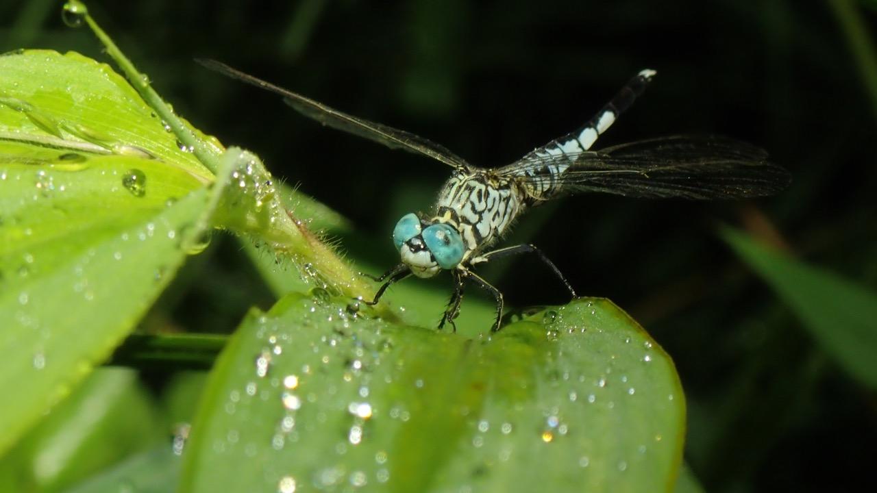 錐腹蜻 © 馬屎