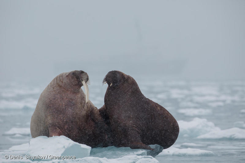 A family of walruses is seen resting atop of an ice block at Dahlbreen glacier in Svalbard.