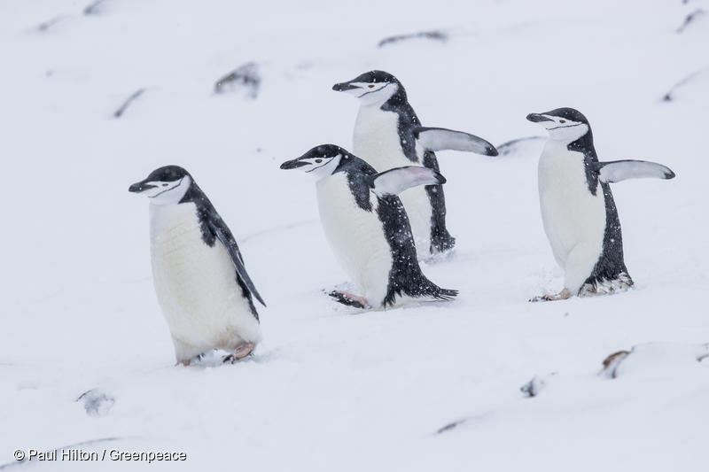 Chinstrap penguins, Half Moon Island, Antarctic, 20th March 2018. Greenpeace is documenting the Antarctic's unique wildlife and landscapes to strengthen the proposal to create the largest protected area on the planet, an Antarctic Ocean Sanctuary. Photo: Paul Hilton / Greenpeace