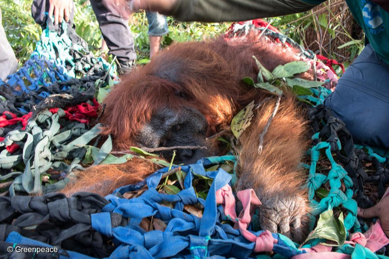 International Animal Rescue (IAR) team evacuate a male Orangutan from the pineaple plantation belong to a resident near PT MPK concession in Sungai Awan Kiri, Muara Pawan, Ketapang, West Kalimantan. The Orangutan was found after he starving and try to find foods in village area.