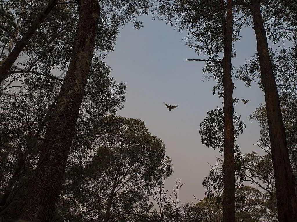 維多利亞州的天空持續被煙霧籠罩,無阻鳳頭鸚鵡展翅高飛。© Alana Holmberg / Greenpeace