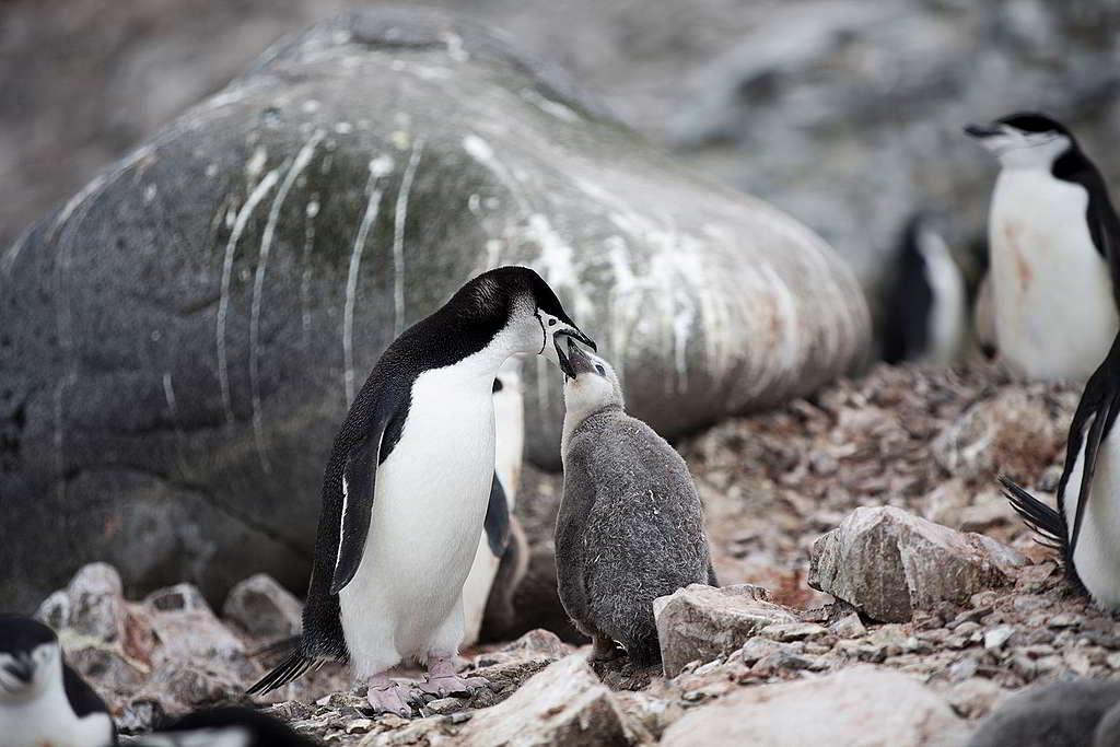 認住臉頰上仿似頭盔縛帶般的條紋,你也是南極企鵝專家! © Abbie Trayler-Smith / Greenpeace