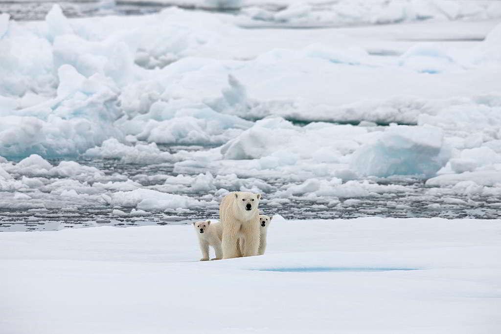 海冰消退加劇,令北極熊「搵食艱難」:有雌性北極熊連續泅泳9日共687公里,是科學家至今錄得長途跋涉之最。 © Greenpeace / Alex Yallop
