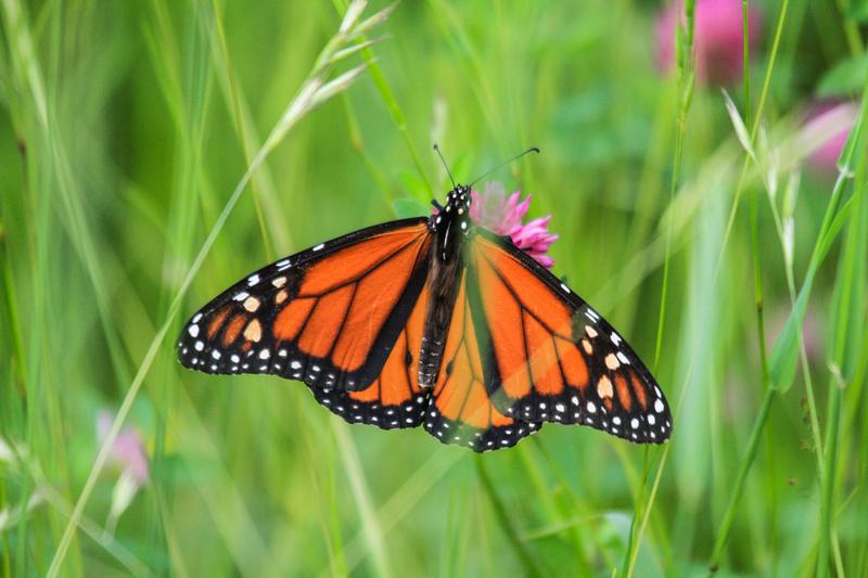 帝王斑蝶面臨的威脅包括氣候變化、人為干擾等,還有非法伐木。 © Dave Taylor / Greenpeace
