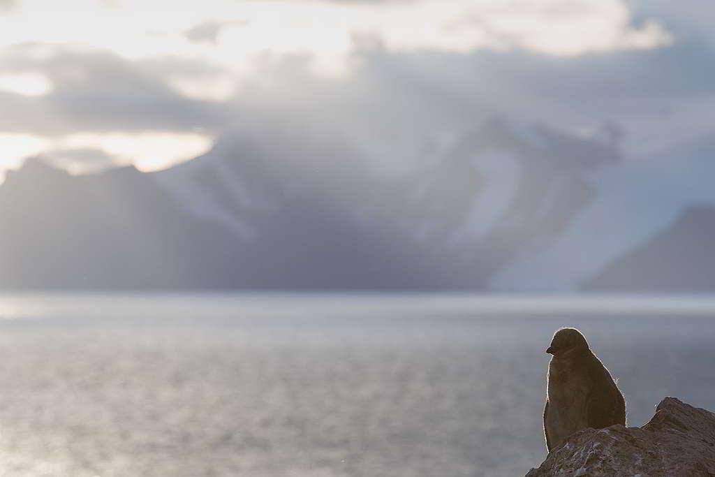 時而風平浪靜,時而風高浪急,南極小企鵝逆光中進發,心存盼望迎接新一天。 © Christian Åslund / Greenpeace