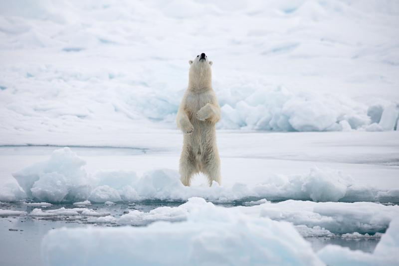 北極海一隻北極熊。© Alex Yallop/Greenpeace
