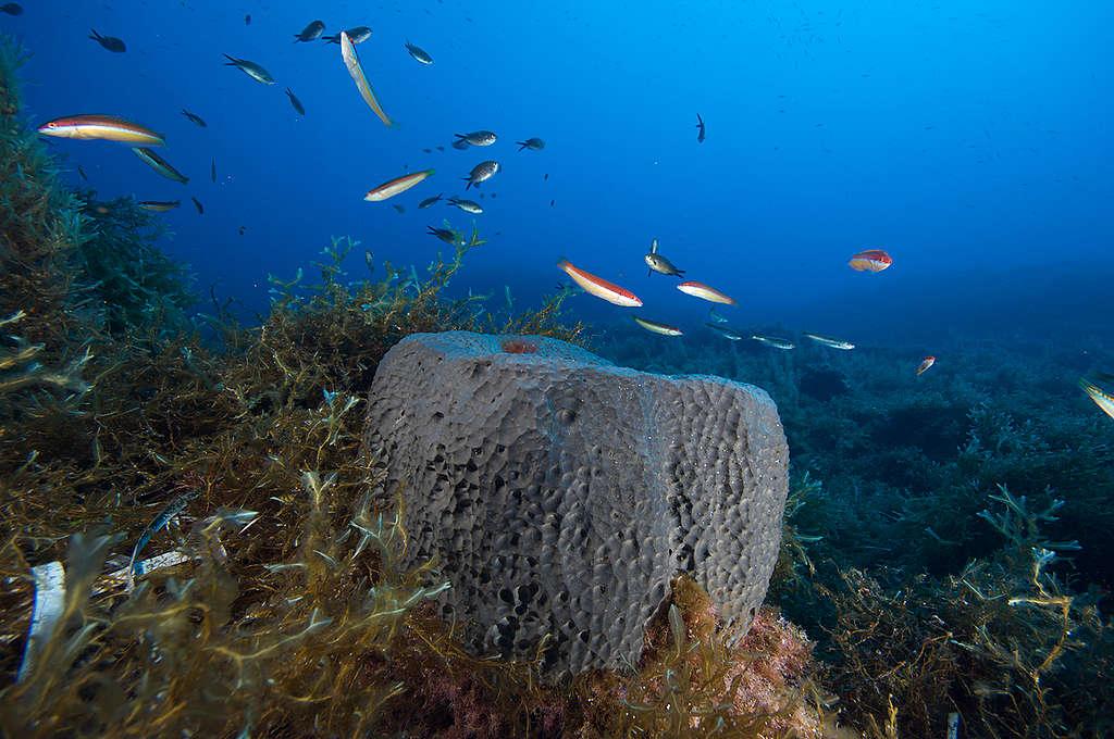 海綿不一定是寶寶(誤),就像這塊位於地中海的大型海綿,箇中交織了億萬年歷史。 © Greenpeace / Gavin Parsons